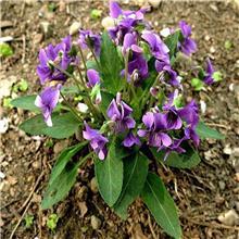紫花地丁种子 紫花地丁种子批发 绿中丰 花海荒山公园绿化工程 支持货到付款