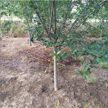 汉中绿洲西府海棠苗 白兰地海棠苗 种植基地 四季海棠花苗