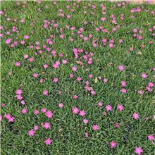 出售东北耐寒宿根花卉 欧石竹杯苗 适合小区公园绿化工程做花海