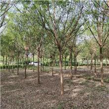 18公分精品国槐树,公园绿化工程树,原生冠国槐树,铭磊园林精品批发各种规格国槐