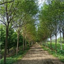 20公分精品国槐树,公园绿化工程树,原生冠国槐树,铭磊园林精品批发各种规格国槐