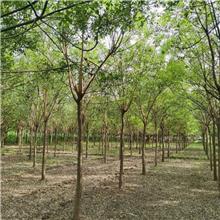 22公分精品国槐树,公园绿化工程树,原生冠国槐树,铭磊园林精品批发各种规格国槐