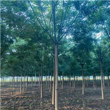 12公分精品国槐树,公园绿化工程树,原生冠国槐树,铭磊园林精品批发各种规格国槐
