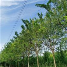 19公分精品国槐树,公园绿化工程树,原生冠国槐树,铭磊园林精品批发各种规格国槐