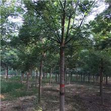 7公分精品国槐树,公园绿化工程树,原生冠国槐树,铭磊园林精品批发各种规格国槐