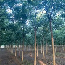 17公分精品国槐树,公园绿化工程树,原生冠国槐树,铭磊园林精品批发各种规格国槐