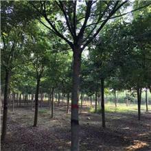 8公分精品国槐树,公园绿化工程树,原生冠国槐树,铭磊园林精品批发各种规格国槐