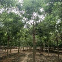 6公分精品国槐树,公园绿化工程树,原生冠国槐树,铭磊园林精品批发各种规格国槐