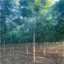 15公分精品国槐树,公园绿化工程树,原生冠国槐树,铭磊园林精品批发各种规格国槐