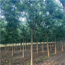 11公分精品国槐树,公园绿化工程树,原生冠国槐树,铭磊园林精品批发各种规格国槐