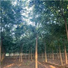 10公分精品国槐树,公园绿化工程树,原生冠国槐树,铭磊园林精品批发各种规格国槐