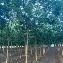 13公分精品国槐树,公园绿化工程树,原生冠国槐树,铭磊园林精品批发各种规格国槐