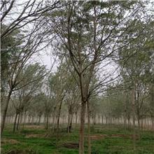9公分精品国槐树,公园绿化工程树,原生冠国槐树,铭磊园林精品批发各种规格国槐