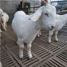固安美国白山羊繁殖出售 供应白山羊羊羔 品种优良
