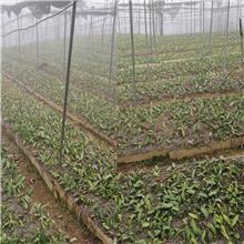 滇黄精红花籽种  一克黄精种子价格  一公斤新黄精种子育苗技术