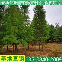 街道公园绿化工程池杉大树 园林绿化品种规格齐全