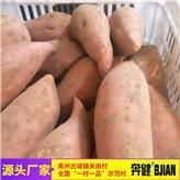河南烟薯25生产基地 糖心地瓜 红皮红薯批发价 禹州奔健红薯厂家