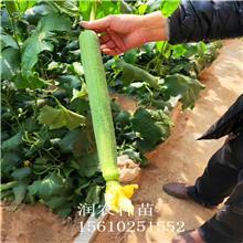 丝瓜苗 润农种苗 丝瓜种子 中绿丝瓜 蔬菜苗 批发零售厂家直销