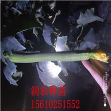 长绿丝瓜苗 润农种苗 中绿丝瓜苗 常年供应