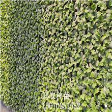 润农种苗 荷兰中绿丝瓜种子 丝瓜苗 杂交丝瓜苗
