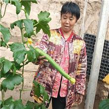 肉丝瓜苗 中绿丝瓜苗 短丝瓜苗 耐寒耐热抗病高产丝瓜苗 水滴农业