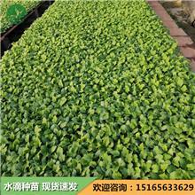 40-45厘米丝瓜种子 强雌油亮丝瓜苗 丝瓜苗 中绿丝瓜苗厂家 水滴农业