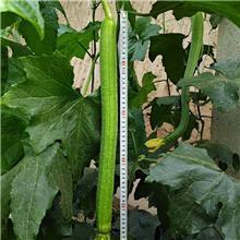 中绿丝瓜苗 耐热抗病越夏种植丝瓜苗 越冬丝瓜苗 水滴丝瓜苗 质优价廉