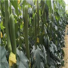 中绿丝瓜种子种苗 佳鸿种业 抗病杂交丝瓜种子种苗 基地直销