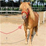 改良矮马种马 公园观赏矮马 青少年乘骑矮马 市场供应