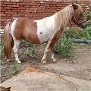 温顺设特兰矮马 景区拍照小矮马 成年骑乘矮马 市场出售